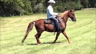 Neck Reining Sorrel Tennessee Walking Horse Gelding for sale