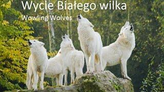 ☾ Howling Wolves | Wycie białego wilka ☾