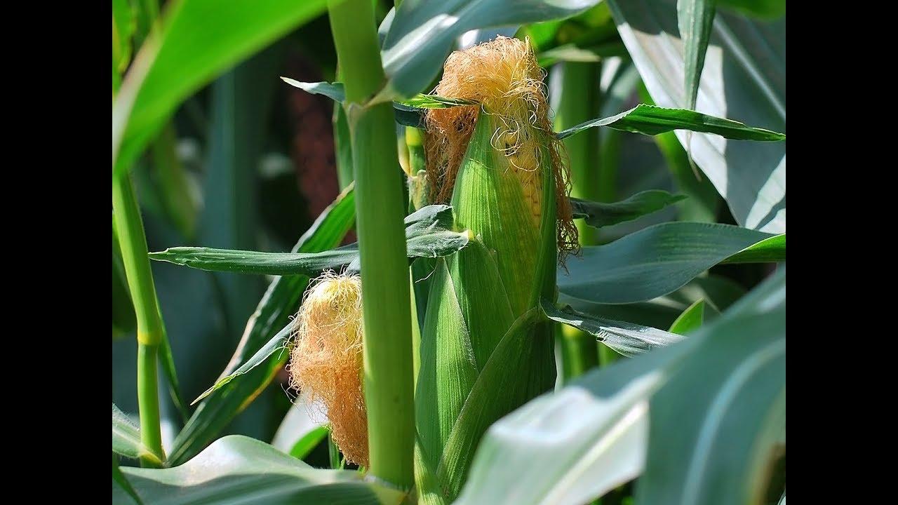полив кукурузы на поле