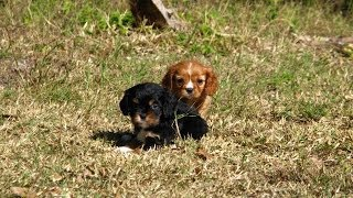 Cavalier King Charles Spaniel, Puppies For Sale, In, San Antonio, Texas, Tx, Pasadena, Brownsville,