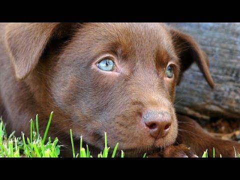 60 Seconds Of Cute Australian Kelpie Puppies!