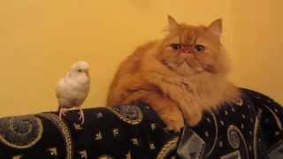 Попугай пристает к коту