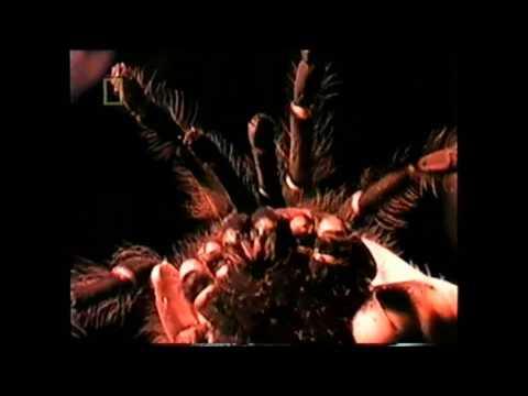 Giant Chicken Eating Spider - YouTube  Giant Chicken E...
