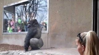 Silverback Gorilla Bashes Into The Glass