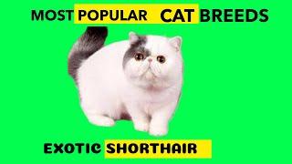 EXOTIC SHORTHAIR CAT MOST POPULAR CAT BREED