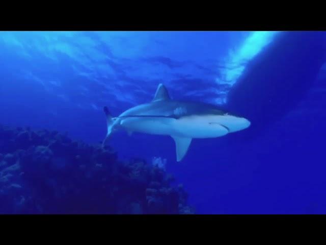 コーラルシー シャークダイビング 30秒動画 Alwing.Net