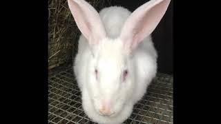 Шишка у кролика