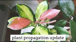 snake plant propagation by leaf cuttings