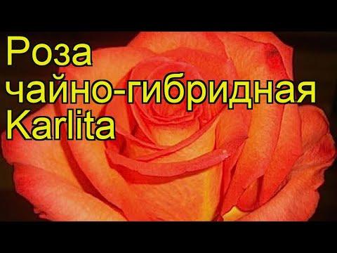 Роза чайно-гибридная Карлита. Краткий обзор, описание характеристик, где купить саженцы Karlita