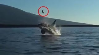 Killer Whale Attack -  Sea Turtle Tossed High Into The Air