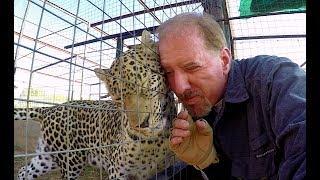 Do Leopards Purr Cute Affectionate Big Cat PurrsRumbles Like Kitten At Cheetah Breeding Center