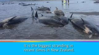 Hundreds of whales die in mass stranding at Farewell Spit