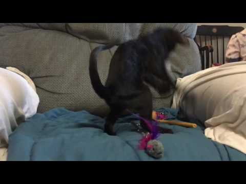 Black Oriental Shorthair Male Kitten