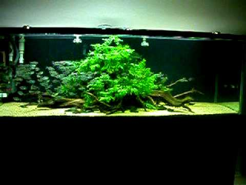 Charming Aquascaping: Moenkhausia Costae In A 6 Ft. Freshwater Aquarium.   YouTube