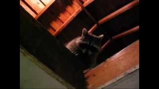 Raccoon hides in the attic