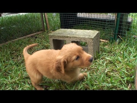Our video story of golden irish puppies