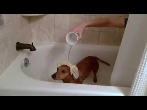 ALS Ice Bucket Challenge with Ammo the Dachshund