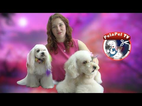 PELUQUERÍA CANINA DOG GROOMING ASIAN FUSION STYLE - BICHON MALTÉS - POODLE - BY ROCÍO ALCÁNTARA