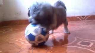 Dog Shihtzu Playing Soccer / Perro Shihtzu Jugando Futbol / Shihtzu  Dog