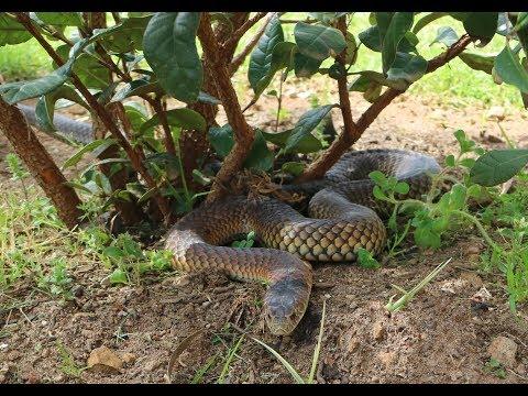 Melbourne's Top 4 Venomous Snakes - Australia's Deadly Snakes (Snake Bite Information)
