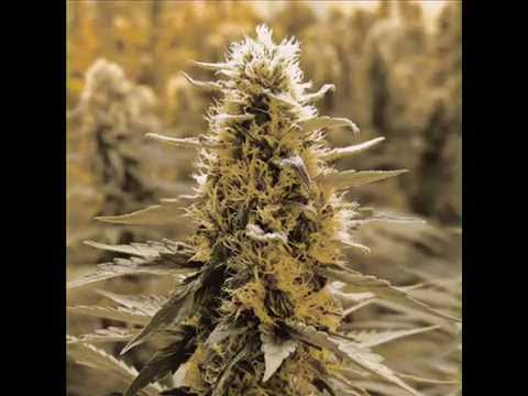 Legalize it- Peter Tosh (Lyrics)