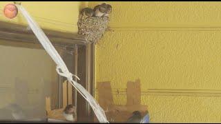 子ツバメは2羽とも、1メートルも巣立っていなかった。