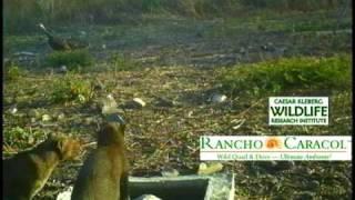 Jaguar Cat at Home in Rancho Caracol, Tamaulipas Mexico