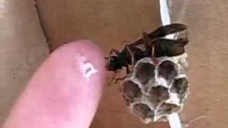 Hand Feeding A Wasp Honey?! Thumbnail