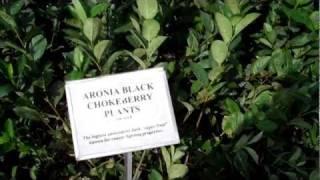 Aronia Berry Plants - DiMeo's Aronia Plants Nursery Dlr.