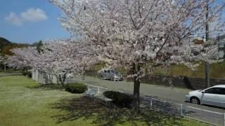 市原市青葉台葎堰付近の桜2017