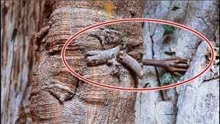 Cây bồ đề 3.000 năm tuổi mọc rễ giống 'bàn tay Phật'