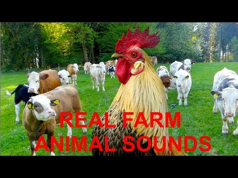 Download REAL FARM ANIMAL SOUNDS, for children and parents - WITHOUT MUSIC -  rooster crowing for kids