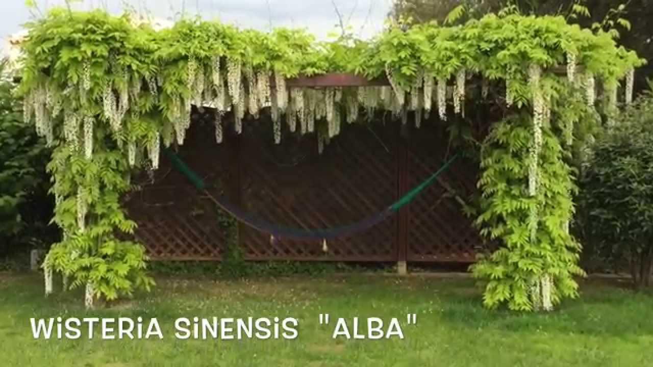 wisteria sinensis alba garden center online costa brava. Black Bedroom Furniture Sets. Home Design Ideas