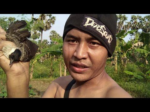 Baru Sebentar Langsung Dapat Burung Kutilang   quick glue bird trap indo