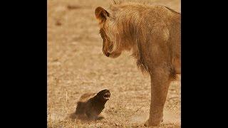 Медоед против львов