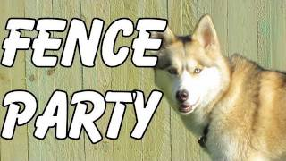 Shiloh And Shelby Get A Fence? Well, Kind Of. .  Siberian Husky