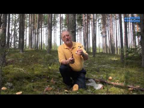 Природа Финляндии. Колпак кольчатый