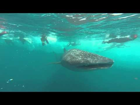 Whale Shark Cruise @ Maafushi, Maldives!