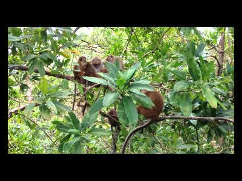 スリランカ ペラデニヤ大学の猿 ...