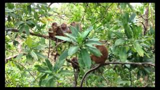 スリランカ ペラデニヤ大学の猿 Monkies in the Univ. of Peradeniya, Sri Lanka