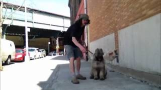 Retrives While Puppy Is Teething. Peter Caine Dog Training, Brooklyn Nyc