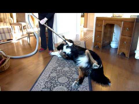 How to clean a Bernese Mountain Dog