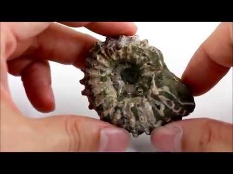 アンモナイト 化石 62g / Ammonoidea