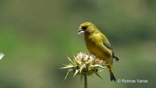 verdern carduelis chloris greenfinch