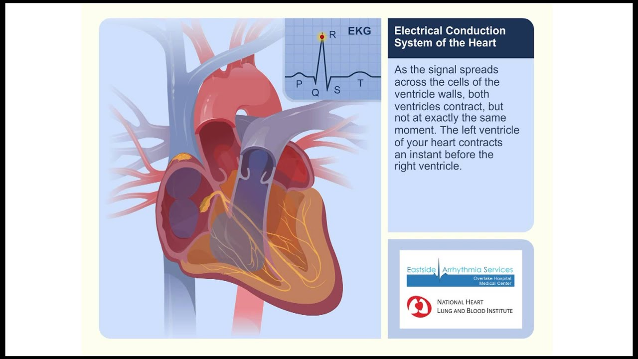 Electrical Conduction System Of The Heart