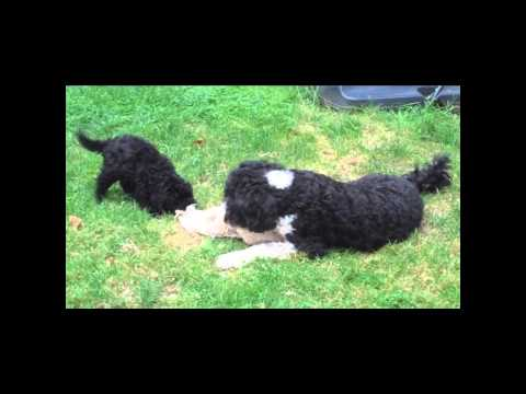 Portuguese water dogs