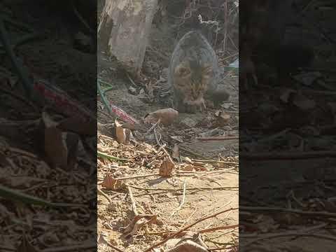 农村狸花猫玩老鼠 Chinese lihua play with cat before eat it on village