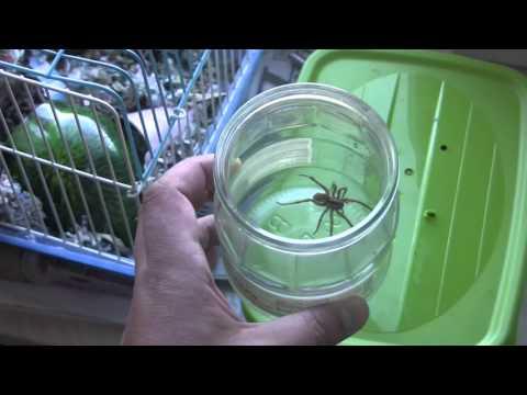 Как ловить тарантулов дома