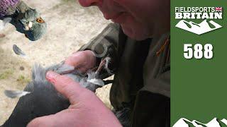 Fieldsports Britain - h๐w to blow a pigeon