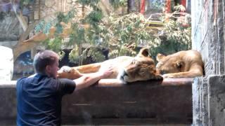 MGM Grand Lion Habitat #1